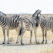 Foto Stock: Burchells zebras in savanna