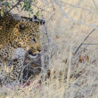 Stock Photo: Leopard with his kill under tree