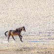 Rare Namib desert horse — Stock Photo