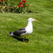 Lesser Black-backed Gull on grass with tulips in the background - Stock Photo