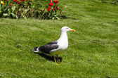 Lesser Black-backed Gull on grass with tulips in the background — Zdjęcie stockowe
