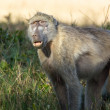 Portrait of a baboon — Stock Photo