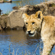Lion cub near the Zambezi River — Stock Photo