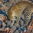 Leopard with a carcass — Stock Photo