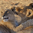 Stock Photo: Lion cubs playing