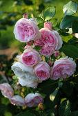 Pink romantic rose of perfume — Stock Photo