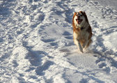 Husky runs in the snow — Stock Photo