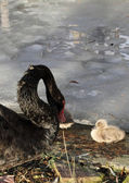 Chicks from the mourning Swan — Stock Photo