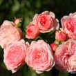 Pink romantic shrub rose — Stock Photo
