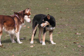 Two dogs sniffing each other — Stock Photo