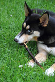 Husky chewing on wooden — Stock Photo