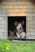 Husky in the doghouse — Stock Photo