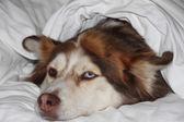 Husky snuggles w łóżku — Zdjęcie stockowe
