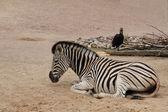 Llanuras de cebra y el cálao de reclinación — Foto de Stock