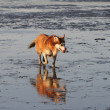 Husky in the Wadden — Stock Photo