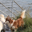 Stock Photo: Husky and Golden Retriever playing