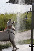 Golden Retriever playing with water — Stock Photo
