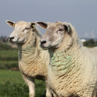 Two sheep on the dike — Stock Photo
