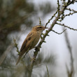 Sedge warbler — Stock Photo