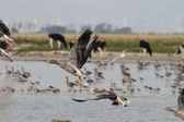 Dzikie gęsi, które latają — Zdjęcie stockowe