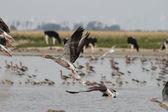 Wild geese that fly — Zdjęcie stockowe