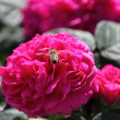 Rose de Resht with hover fly — Stockfoto