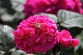 Rosa de rasht com hover voar — Foto Stock