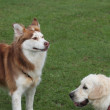 Stock Photo: Husky and Golden Retriever