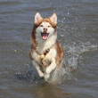 Stock Photo: Husky running through water