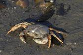 Common Shore Crab — Stock Photo