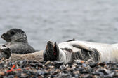 Seals on the Pebble Beach — Stock Photo