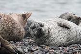 Seehunde am Kiesstrand — Stock Photo