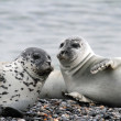 Stock Photo: Seals on gravel beach