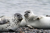 Seals on the gravel beach — Stock Photo