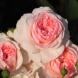 Stock Photo: Pink shrub rose