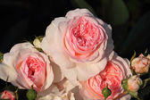 Pink shrub rose — Stock Photo