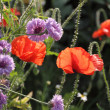 Stock Photo: Red poppy with cornflowers