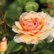 English rose grace — Stock Photo