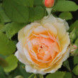 English rose grace — Stockfoto