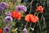 Red poppy with cornflowers — Stock Photo