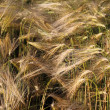 Stock Photo: Barley field
