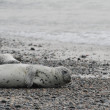 Seals on beach — Stock Photo #34796155