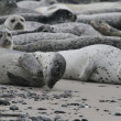 Seals on the beach — Stock fotografie