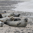 Stock Photo: Seals on beach