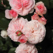 Stock Photo: Romantic shrub roses