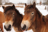 Horses in the winter — ストック写真