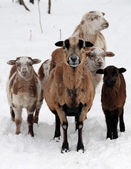Sheeps with lamb in the snow — Stock Photo