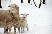 Sheep with lamb twins in the snow — Stock Photo