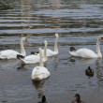 Mute swan — Stock Photo #40029851