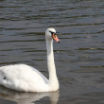 Mute swan — Stock Photo #40036019